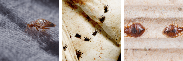 Identifying Bed Bugs – Burgess Pest Management